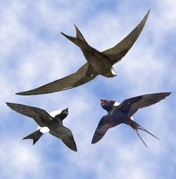 Arriva la Primavera ma le rondini non trovano più i loro nidi e rischiano l'estinzione